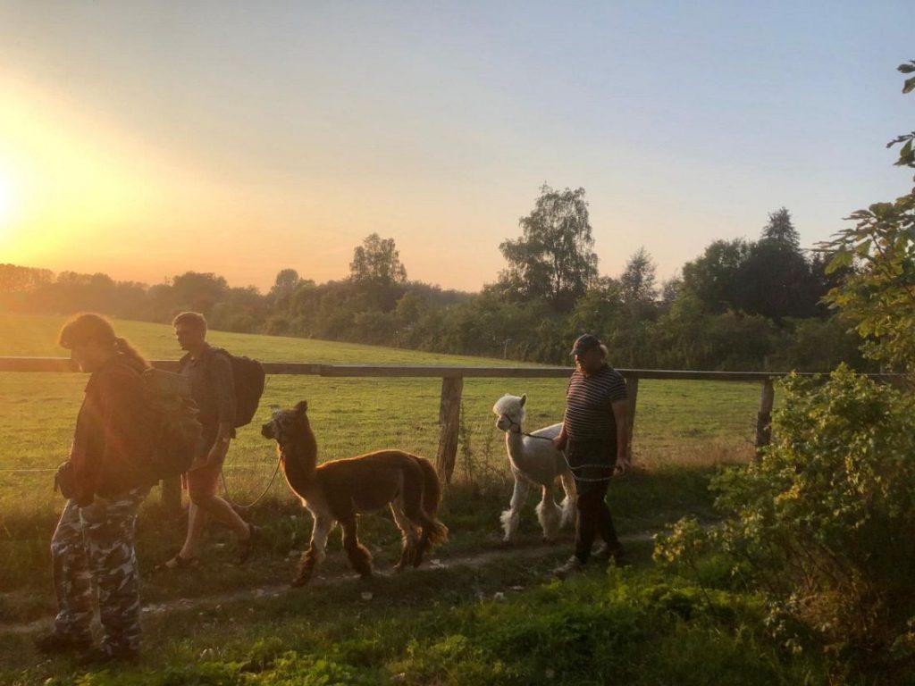 Spaziergang mit Alpakas