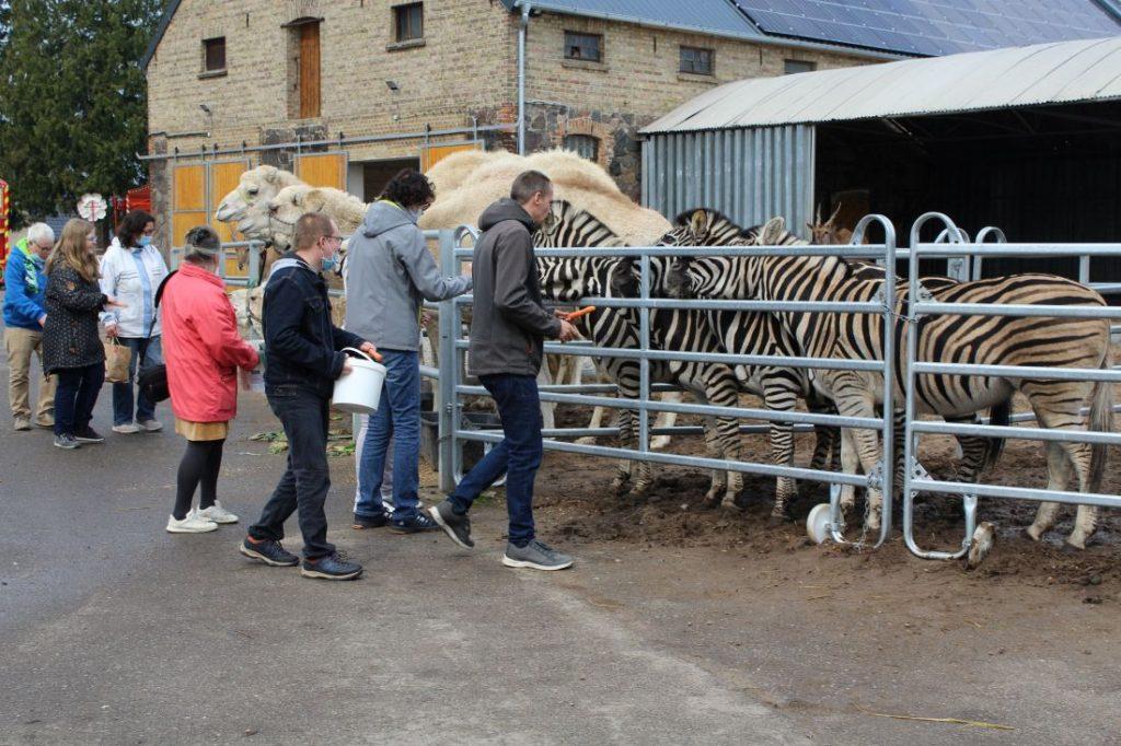 Tiere des Circus William / Kamele und Zebras