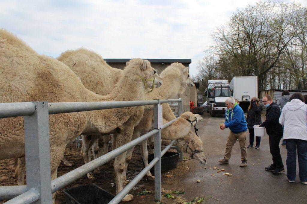 Füttern der arabischen Kamele