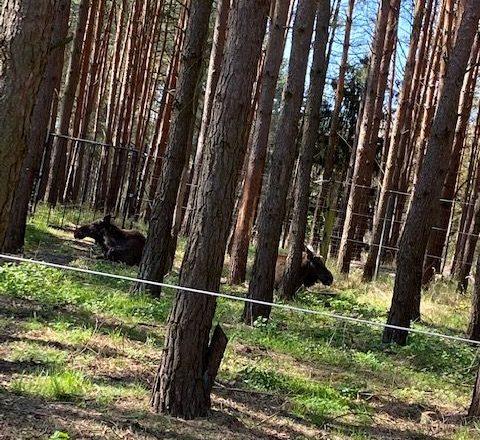 Elche im Wild-Park Schorf∙heide